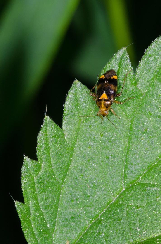 Treplettet Nældetæge (Liocoris tripustulatus)