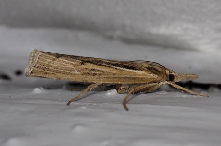 Pediasia aridella (Pediasia aridella)