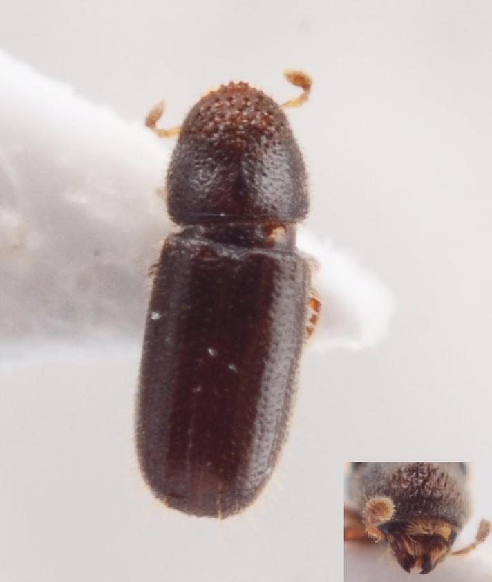 Pityophthorus pubescens (Pityophthorus pubescens)