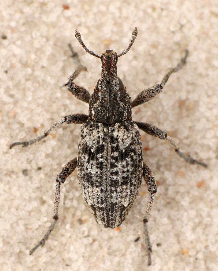 Coniocleonus turbatus (Coniocleonus turbatus)