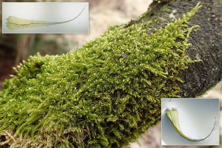 Stribet Krogblad (Sanionia uncinata)