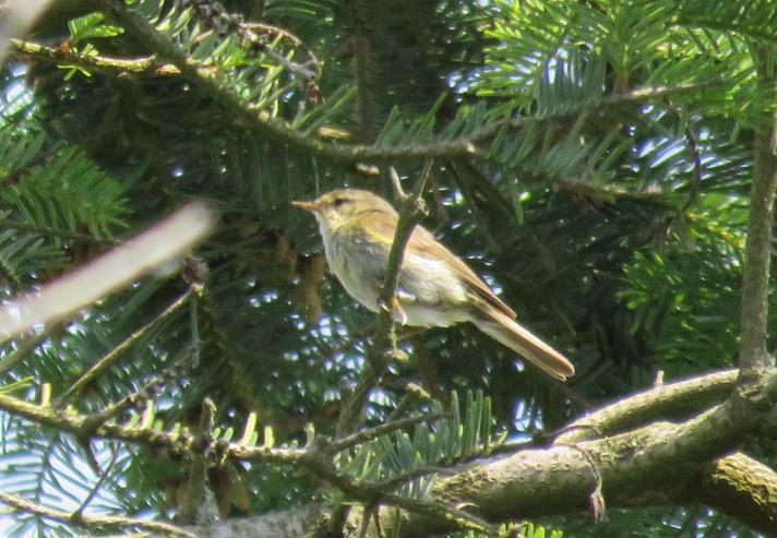 Iberisk Gransanger (Phylloscopus ibericus)