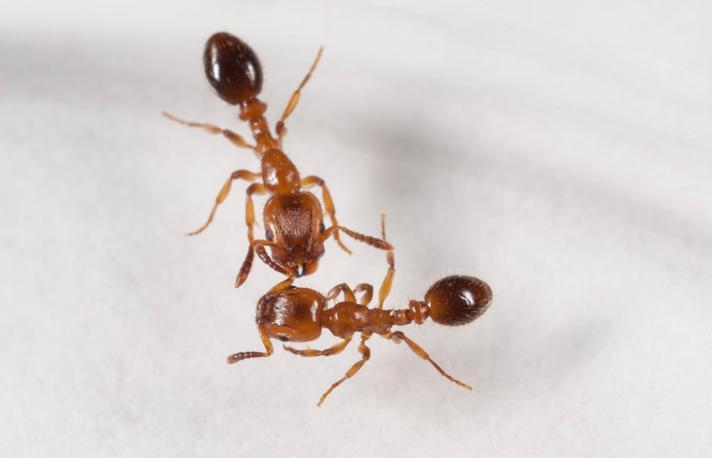 Røvermyre (Harpagoxenus sublaevis)