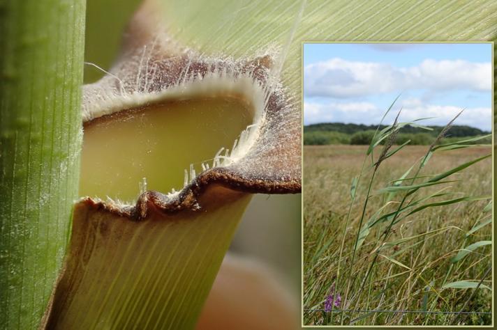 Tagrør (Phragmites australis)