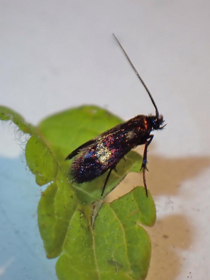 Ærenprislanghornsmøl (Cauchas fibulella)