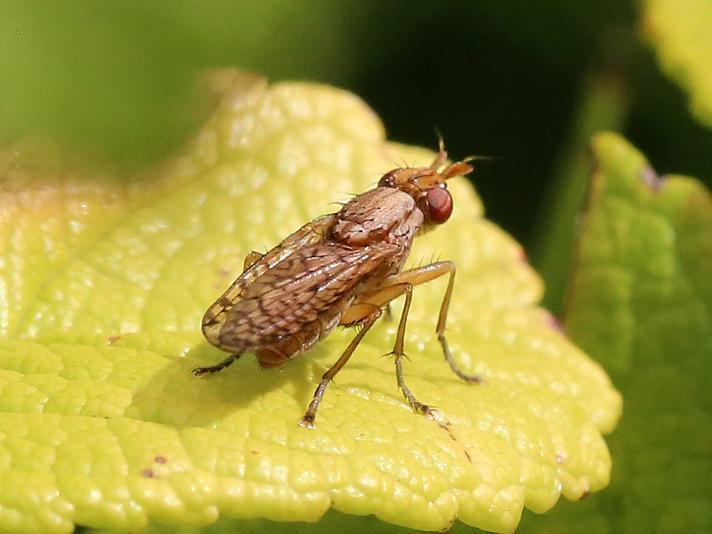 Pherbina sp. (Pherbina sp.)