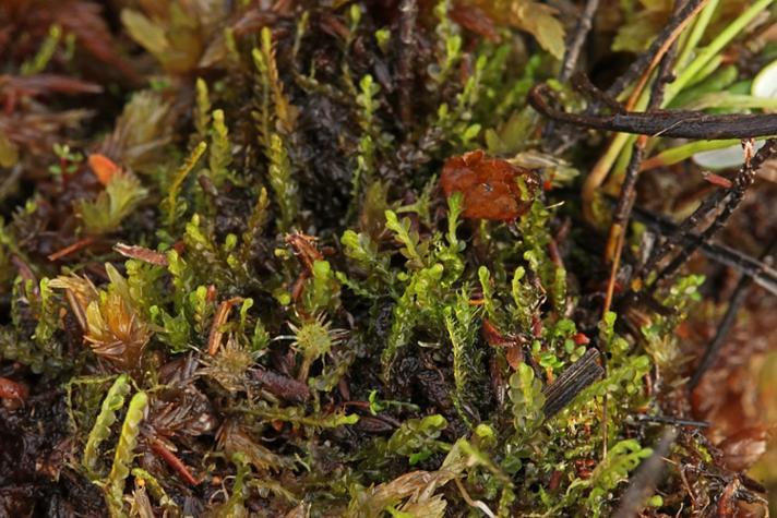 Forlænget Flagelmos (Odontoschisma elongatum)