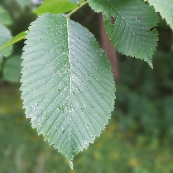 Ulmus glabra ssp. montana (Ulmus glabra ssp. montana)