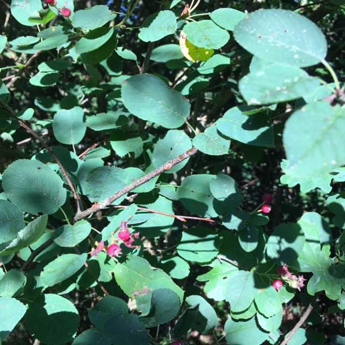 Aks-Bærmispel (Amelanchier spicata)