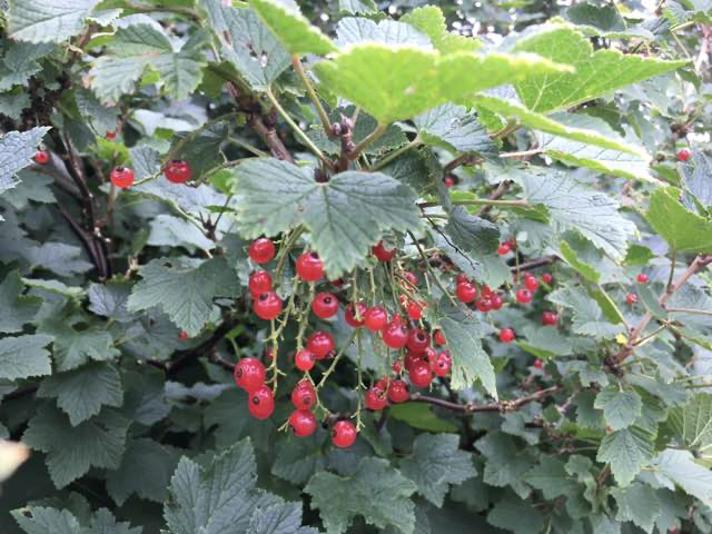 Have-Ribs (Ribes rubrum)