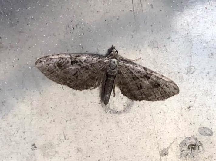 Augustdværgmåler (Eupithecia pusillata)
