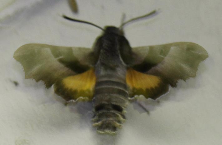 Natlyssværmer (Proserpinus proserpina)