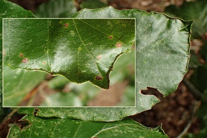 Acalitus stenaspis (Acalitus stenaspis)