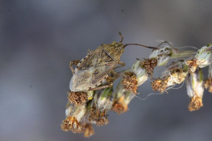 Stictopleurus punctatonervosus (Stictopleurus punctatonervosus)