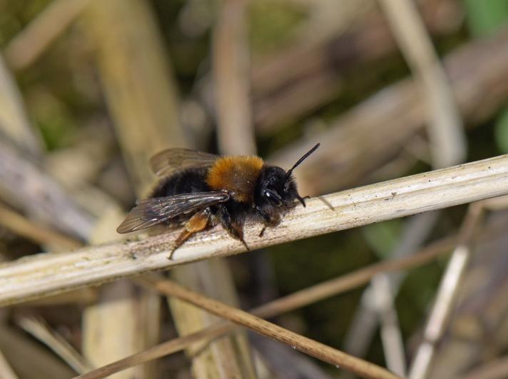 Rødbrystet Jordbi (Andrena clarkella)