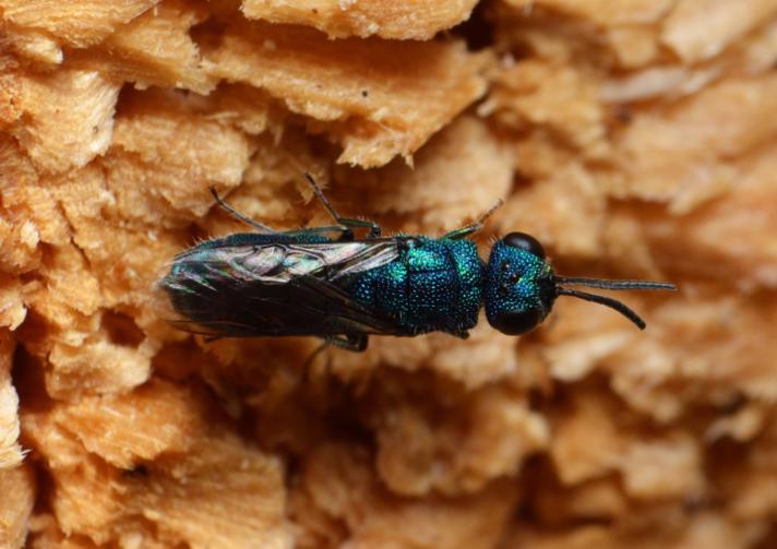 Vedguldhveps (Trichrysis cyanea)