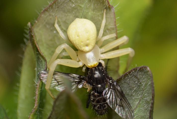 Tovinget Insekt ubest. (Diptera indet.)