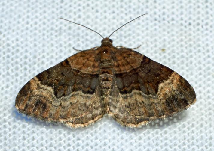 Balsaminbladmåler (Xanthorhoe biriviata)