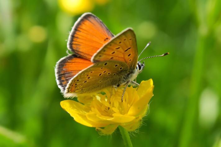 Violetrandet Ildfugl (Lycaena hippothoe)