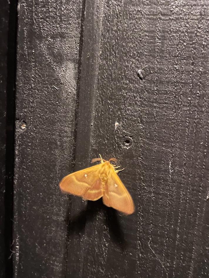 Egespinder (Lasiocampa quercus)