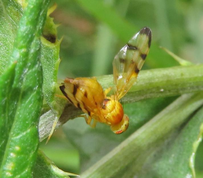 Trypeta artemisiae (Trypeta artemisiae)