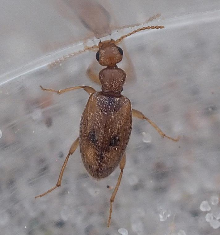 Bleggul Sandpiler (Anthicus bimaculatus)
