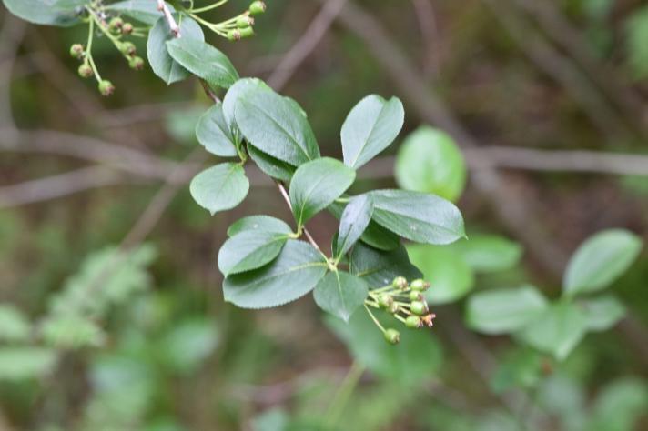 Sortfrugtet Surbær (Aronia melanocarpa)