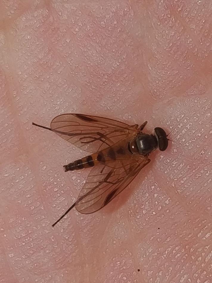 Rhagio lineola (Rhagio lineola)