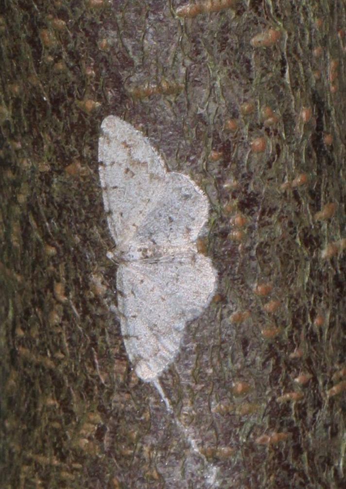 Elle-Barkmåler (Aethalura punctulata)