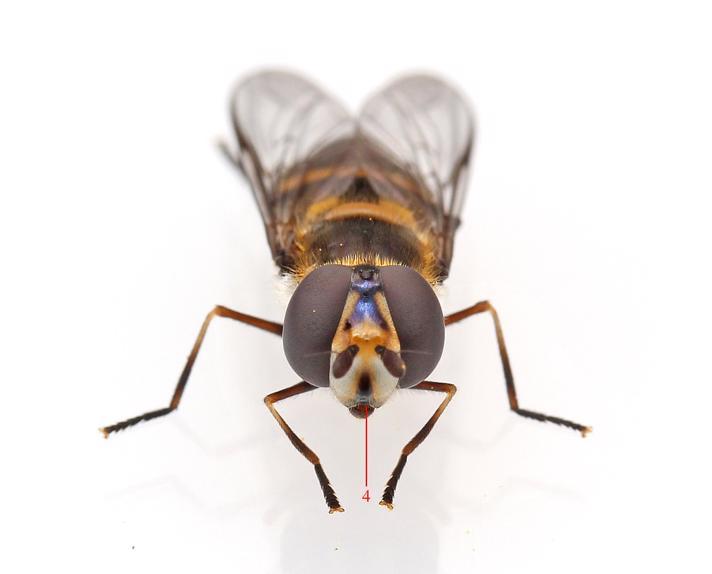Mørk Buesvirreflue (Didea intermedia)