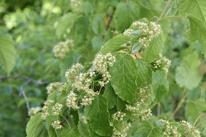 Russisk Løn (Acer tataricum ssp. tataricum)