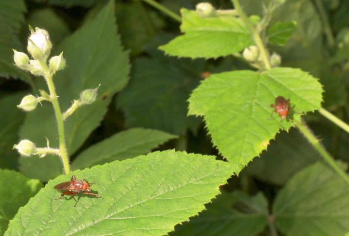Bævreasp-Svirreflue (Hammerschmidtia ferruginea)