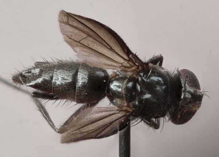 Melanomya nana (Melanomya nana)