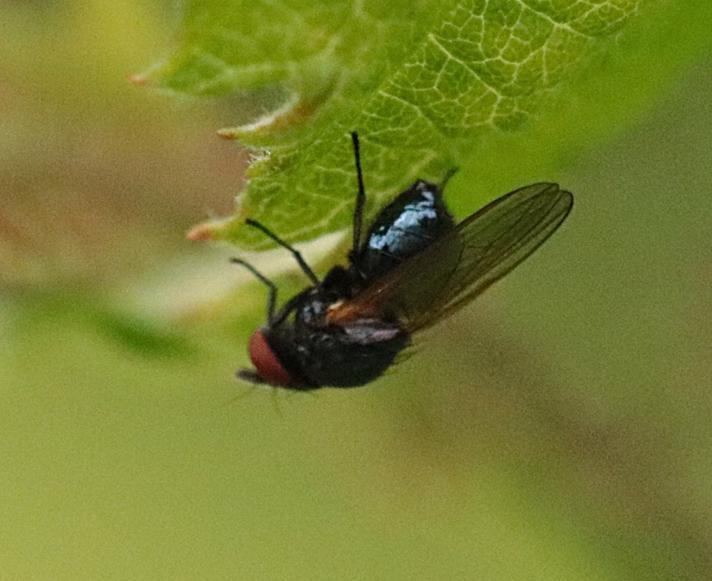 Lanseflue ubest. (Lonchaeidae indet.)