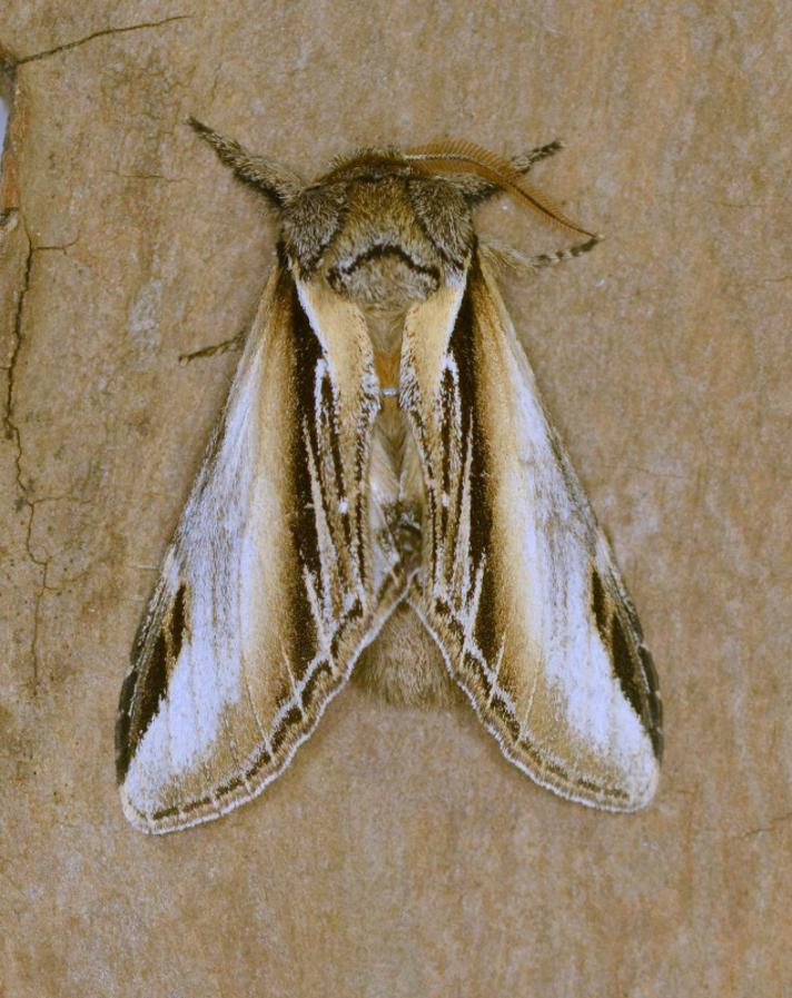 Poppelporcelænsspinder (Pheosia tremula)
