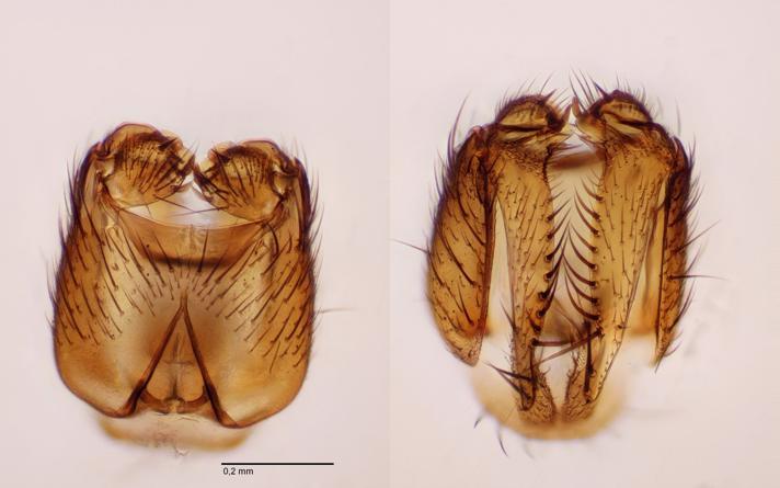 Mycetophila britannica (Mycetophila britannica)
