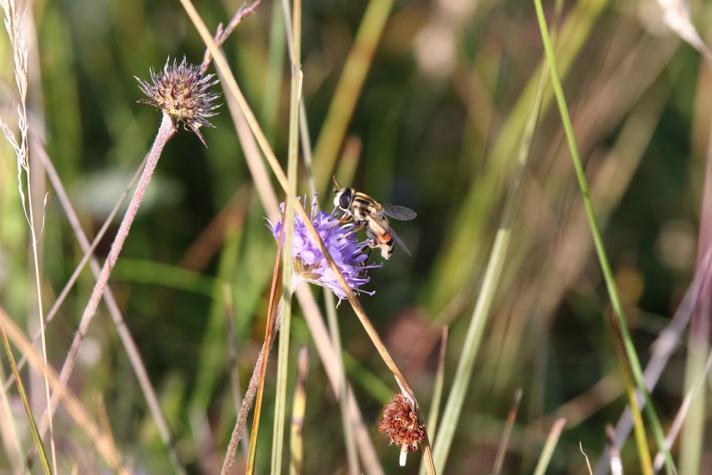 Trebåndet Sumpsvirreflue (Helophilus trivittatus)