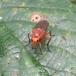 Dryomyza anilis (Dryomyza anilis)