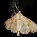Hvidlig Stængelugle (Apamea lithoxylaea)