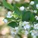 Japansk Paradisæble (Malus floribunda)