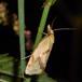 Tidselgulvikler (Agapeta hamana)