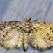 Stregdværgmåler (Eupithecia exiguata)