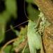 Egegræshoppe (Meconema thalassinum)
