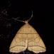 Grå-Snudeugle (Herminia grisealis)