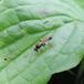 Cosmoconus sp. (Cosmoconus sp.)