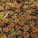 Ene-Jomfruhår (Polytrichum juniperinum)