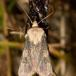 Frønnet Landmand (Agrotis puta)