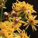 Botanophila seneciella (Botanophila seneciella)