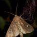 Brun Engugle (Helotropha leucostigma)