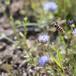 Tørve-Silkesvirreflue (Sericomyia silentis)